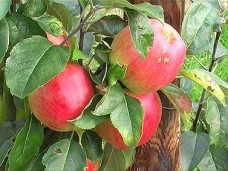 Apfelbaum_vermehren_Teil_1_1